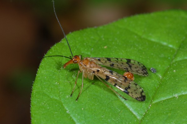 Mecoptera_Panorpidae_Scorpionfly