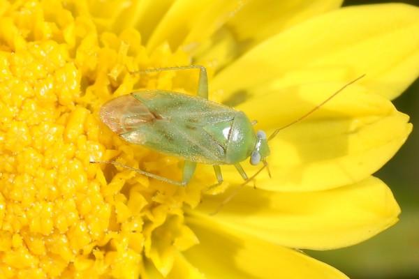 Hemiptera_Miridae_Plant bug