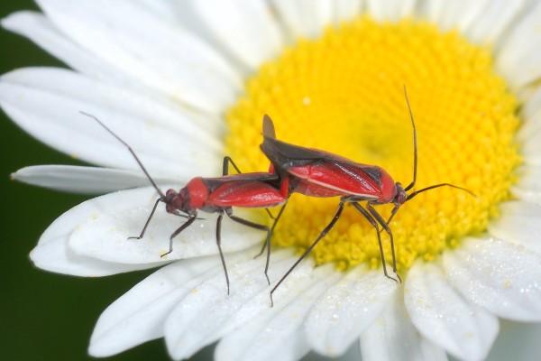 Hemiptera_Miridae_Plant bugs mating