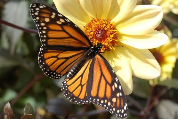 Lepidoptera_Danaidae_Monarch butterfly