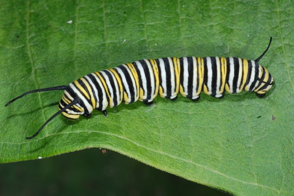 Lepidoptera_Danaidae_Monarch caterpillar
