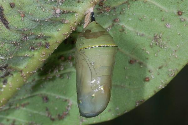 Lepidoptera_Danaidae_Monarch pupa
