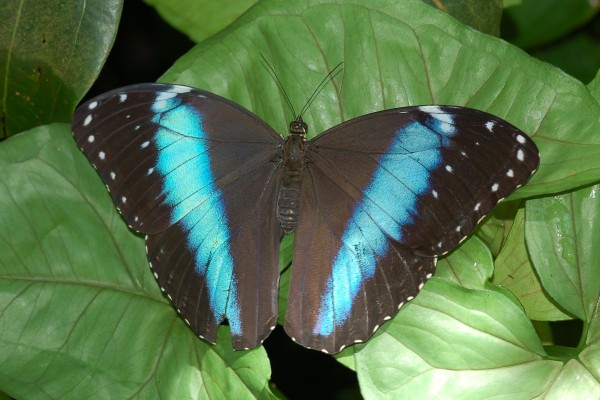 Lepidoptera_Nymphalidae_Morpho butterfly