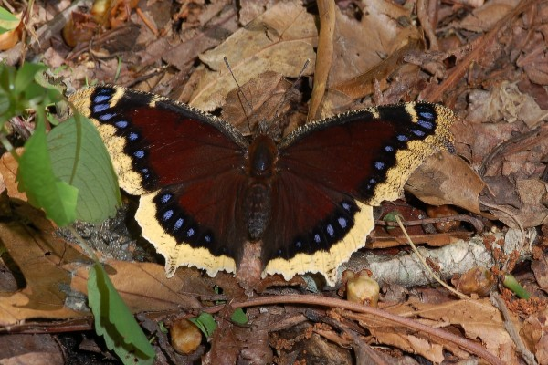 Lepidoptera_Nymphalidae_Mourning cloak butterfly