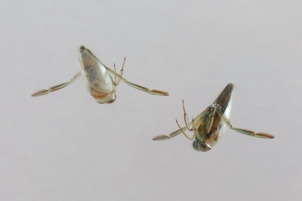 Hemiptera_Notonectidae_Backswimmers