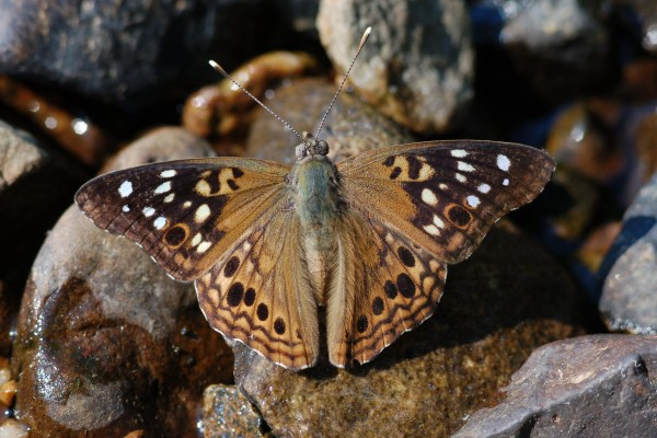 Lepidoptera_Nymphalidae_Hackberry butterfly