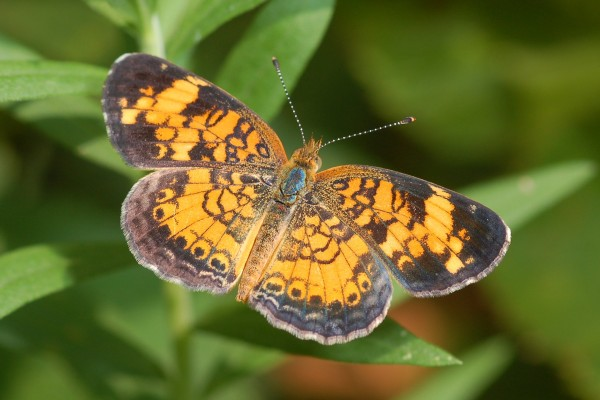 Lepidoptera_Nymphalidae_Crescent butterfly