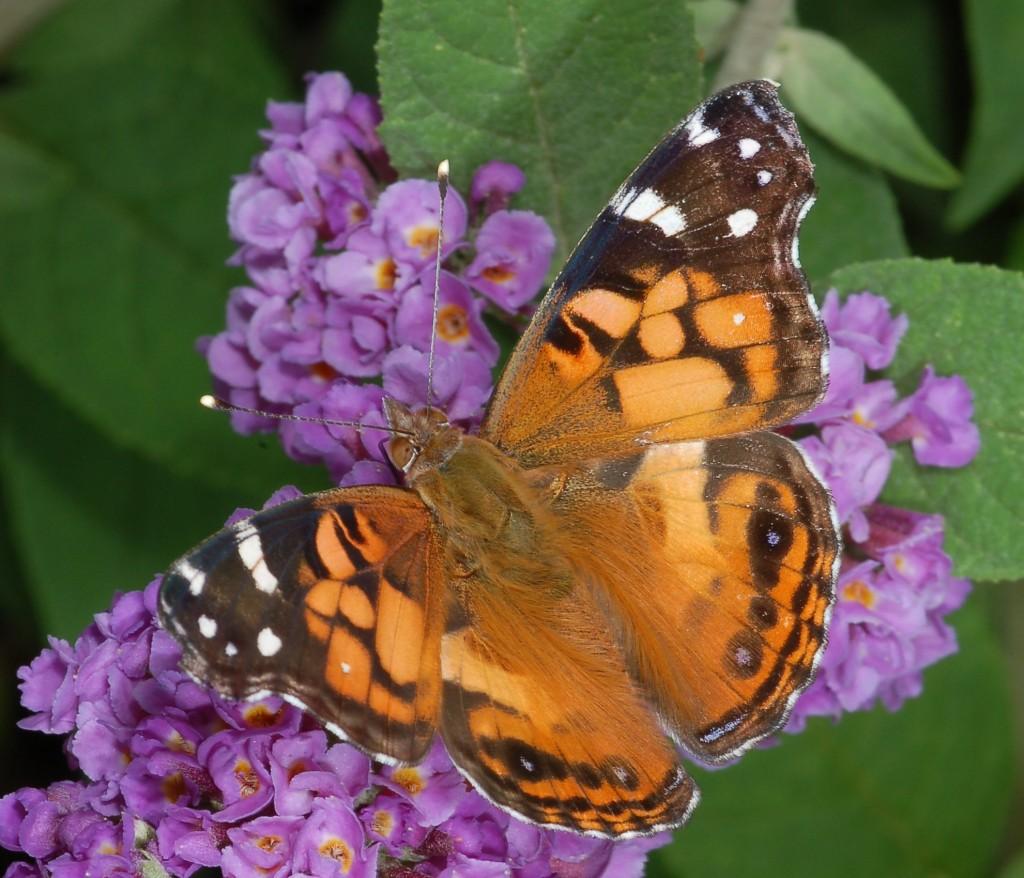 Картинка бабочки нимфалида
