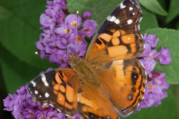 Lepidoptera_Nymphalidae_Painted lady butterfly