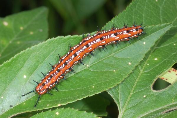 Lepidoptera_Nymphalidae_Variegated fritillary caterpillar