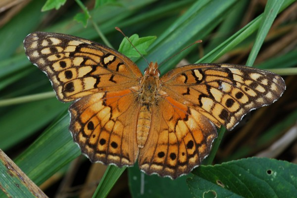 Lepidoptera_Nymphalidae_Variegated fritillary butterfly