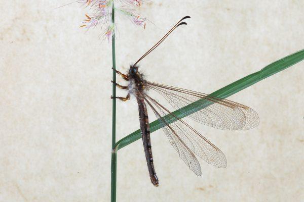 Neuroptera_Ascalaphidae_Owlfly