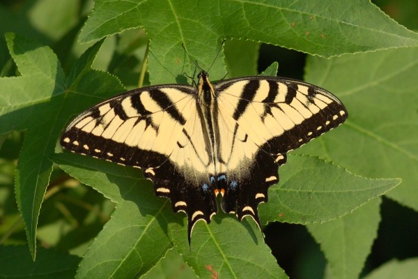 Lepidoptera_Papilionidae_Eastern tiger swallowtail butterfly