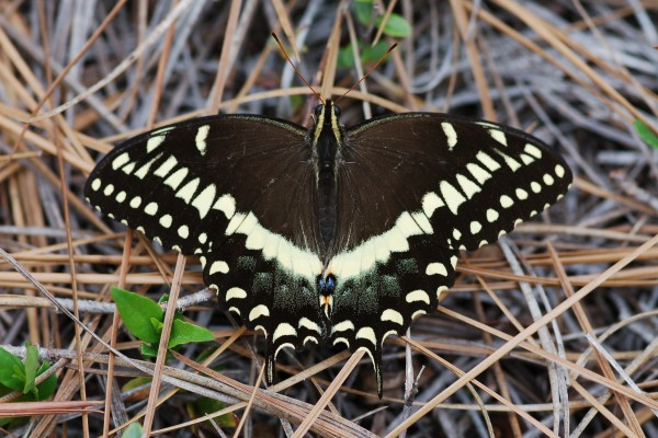 Lepidoptera_Papilionidae_Palamedes swallowtail butterfly