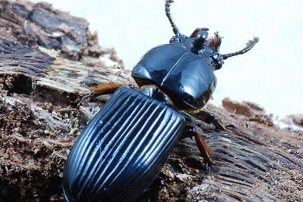 Coleoptera_Passalidae_Bess beetle