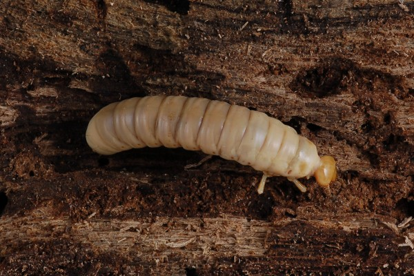 Coleoptera_Passalidae_Horned passalus larva, Bess beetle larva