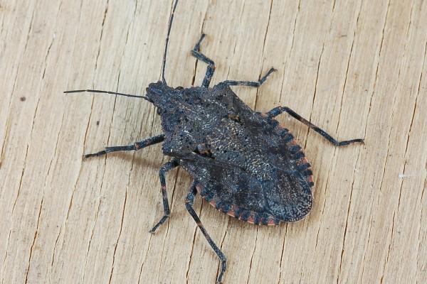 Hemiptera_Pentatomidae_Rough stink bug