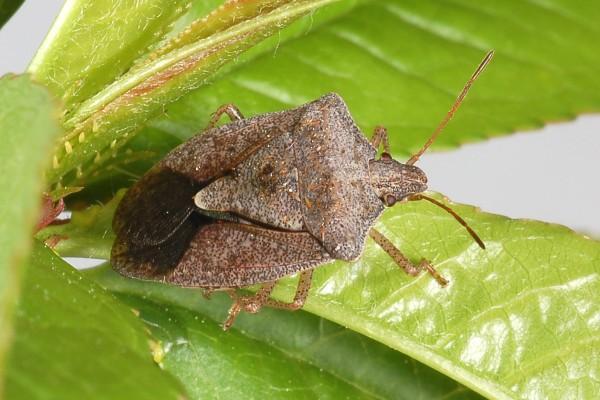 Hemiptera_Pentatomidae_Brown stink bug