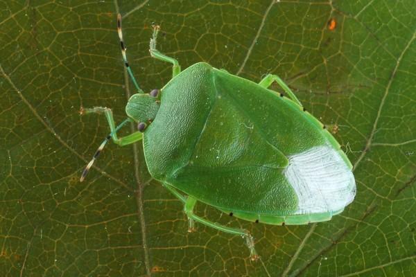 Hemiptera_Pentatomidae_Green stink bug