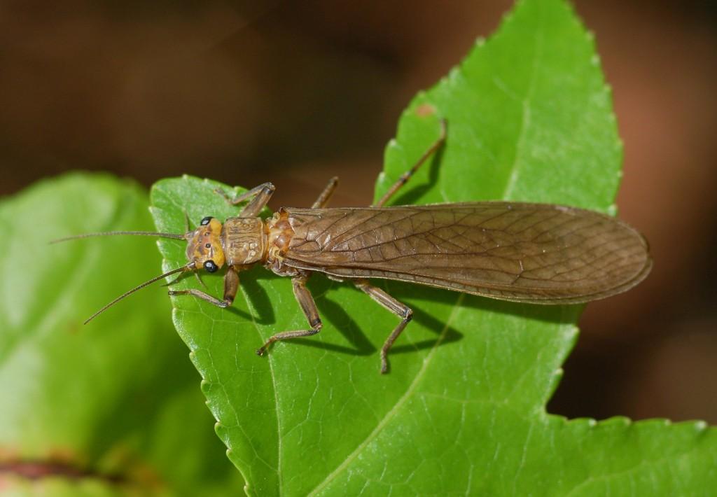 Order Plecoptera Ent 425 General Entomology