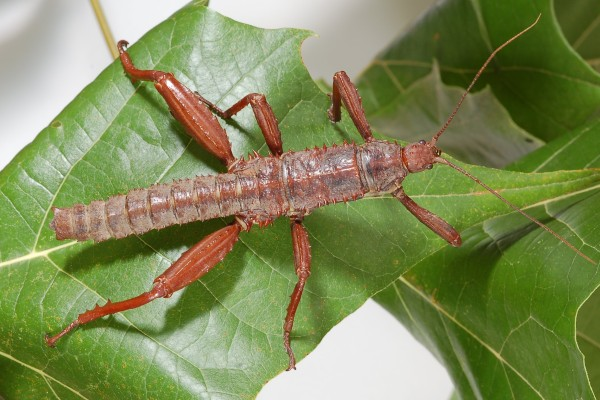 Phasmatodea_None_Stick insect