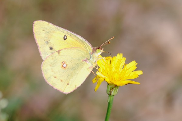 Lepidoptera_Pieridae_Clouded yellow butterfly