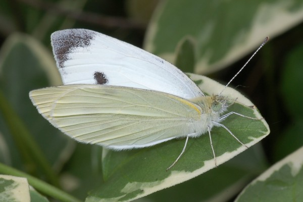 Lepidoptera_Pieridae_Small Cabbage White Butterfly