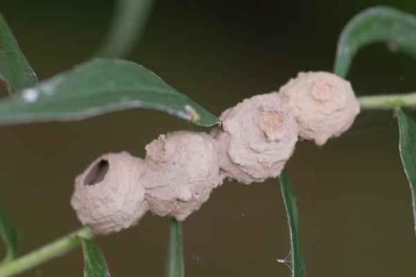 Hymenoptera_Vespidae_Potter Wasp Nests