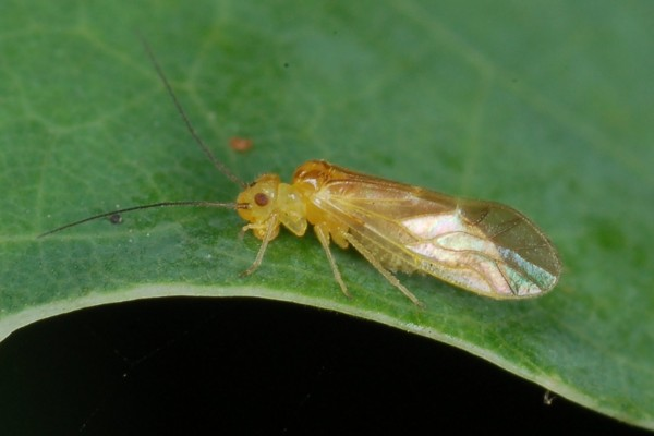 Psocoptera_Psocidae_Adult barklouse
