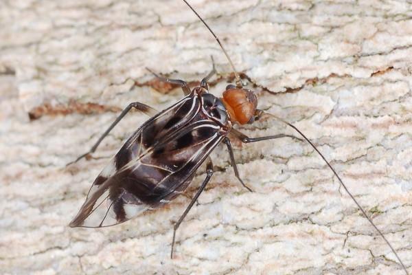 Psocoptera_Psocidae_Barklouse