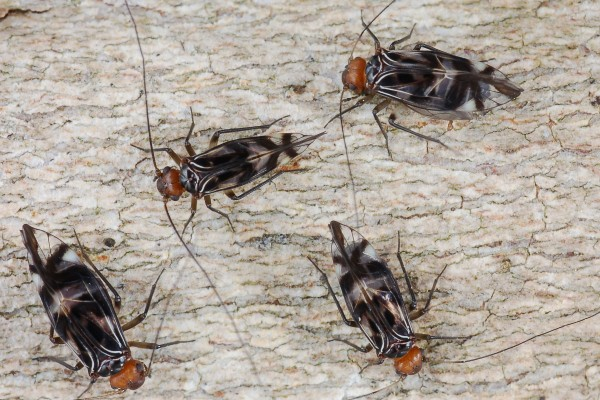 Psocoptera_Psocidae_Barklice