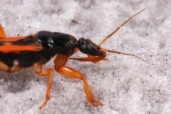 Hemiptera_Reduviidae_Assassin bug