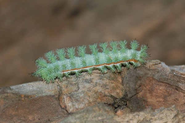 Lepidoptera_Saturniidae_Io moth caterpillar