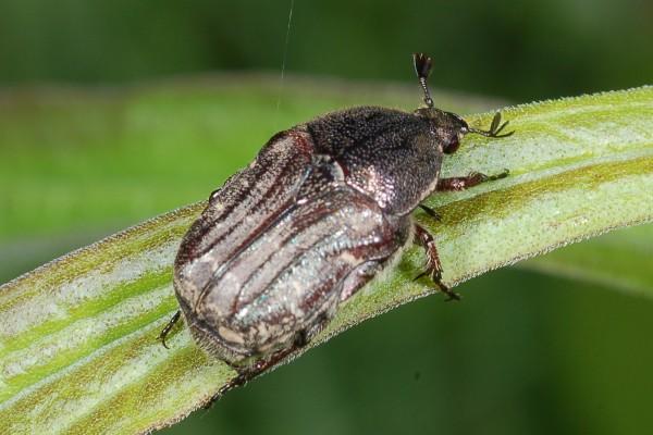 Coleoptera_Scarabaeidae_Scarab