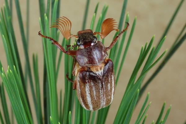 Coleoptera_Scarabaeidae_Scarab beetle