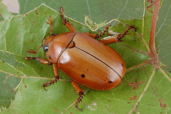 Coleoptera_Scarabaeidae_Grapevine Beetle