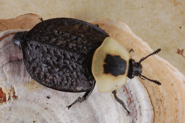 Coleoptera_Silphidae_American carrion beetle