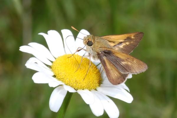Lepidoptera_Hesperiidae_Skipper butterfly