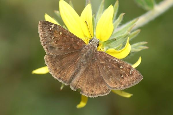 Lepidoptera_Hesperiidae_Silverspotted Skipper