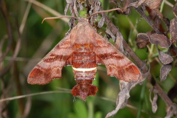 Lepidoptera_Sphingidae_Nessus sphinx moth