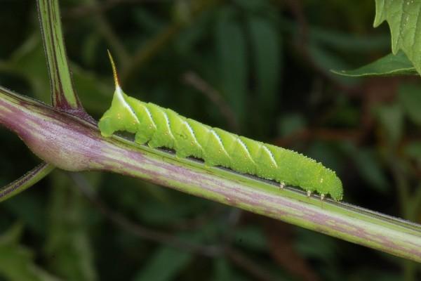 Lepidoptera_Sphingidae_Sphinx caterpillar