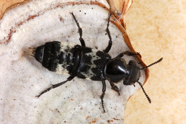 Coleoptera_Staphylinidae_Hairy rove beetle