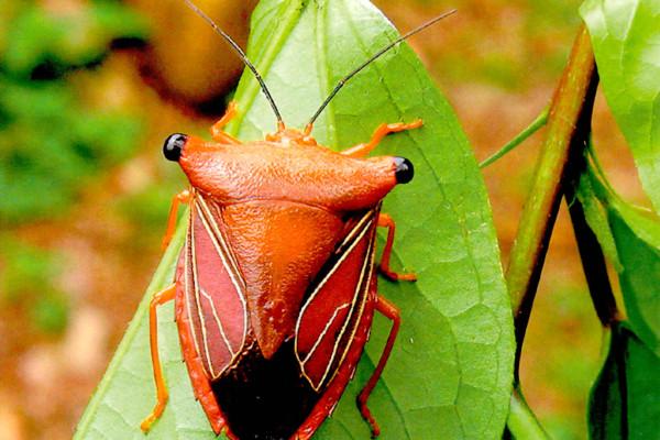 Heteroptera_Pentatomidae_Stink Bug