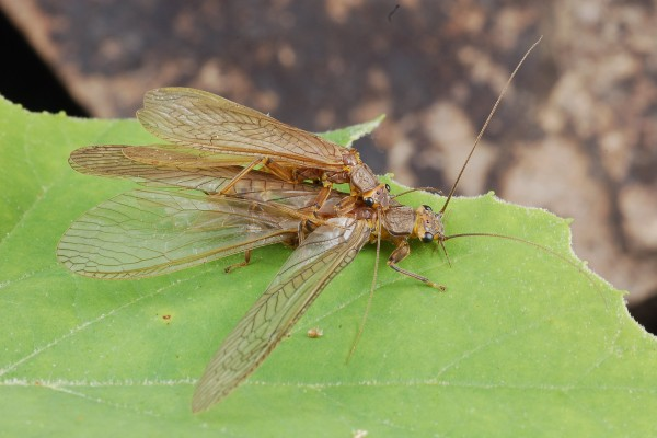 Plecoptera_Perlidae_Stoneflies mating