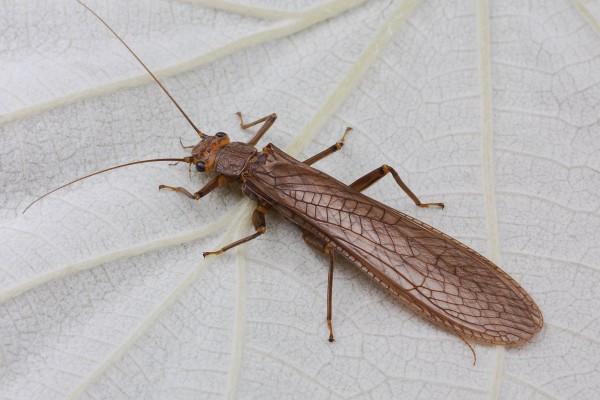 Plecoptera_Perlidae_Stonefly
