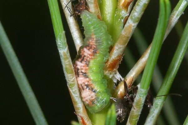 Diptera_Syrphidae_Syrphid larva feeding on aphids (Cinara) Hemiptera: Aphididae