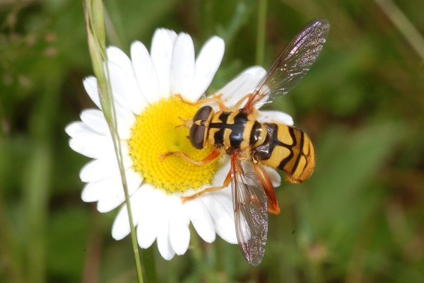 Diptera_Syrphidae_Yellowjacket Hover Fly