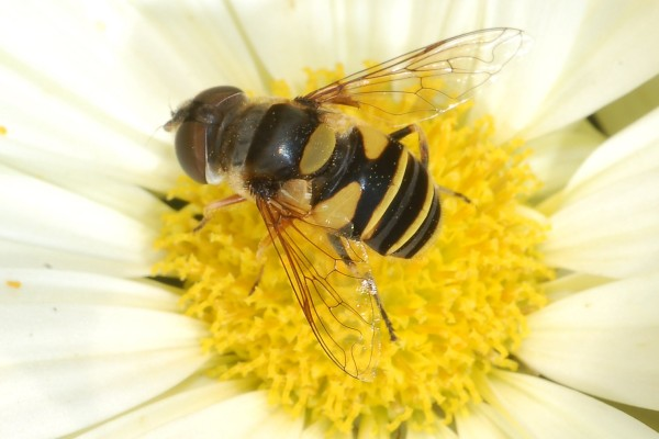 Diptera_Syrphidae_Hoverfly