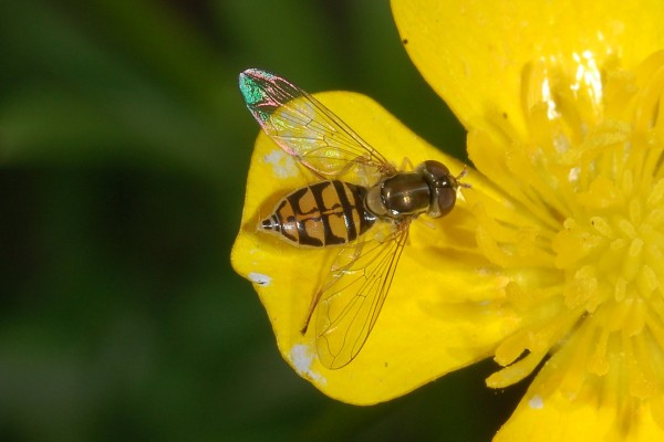 Diptera_Syrphidae_Hover fly