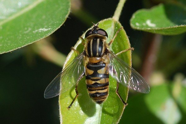 Diptera_Syrphidae_Syrphid fly